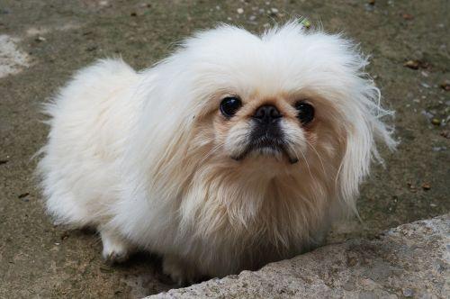 pekingese dog white