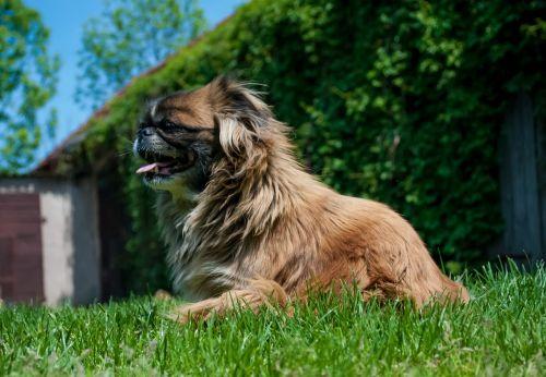 pekingese dog hairy