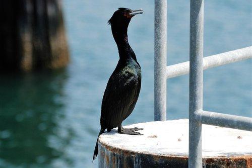 pelagic cormorant  bird  cormorant