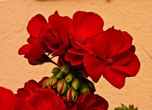 pelagonija blomma plant plants