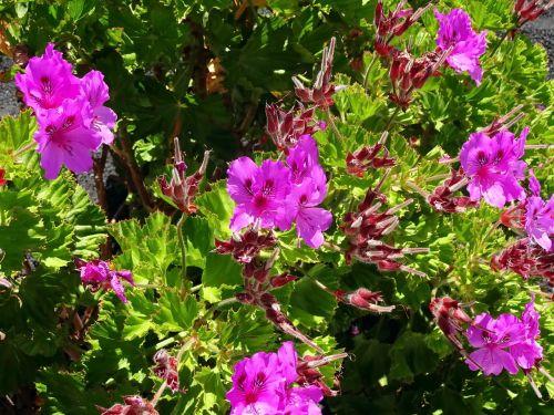 pelargonium purple flowers violet
