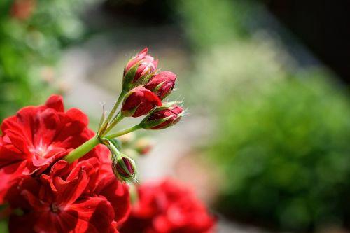 pelargonium nutmeg red