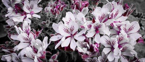pelargoniums  pink  geranium