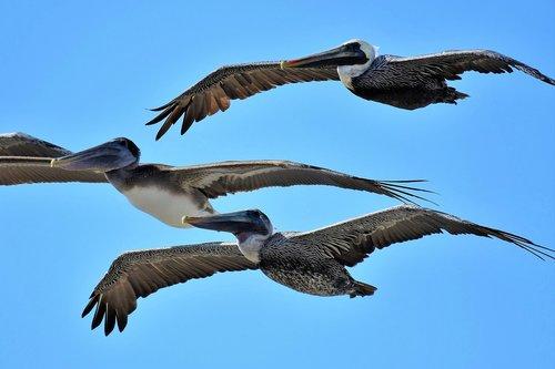 pelecanus occidentalis  brown pelican  winter dress