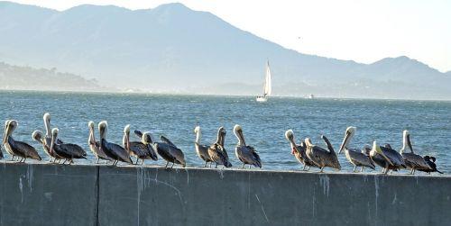 pelican bird brown pelican