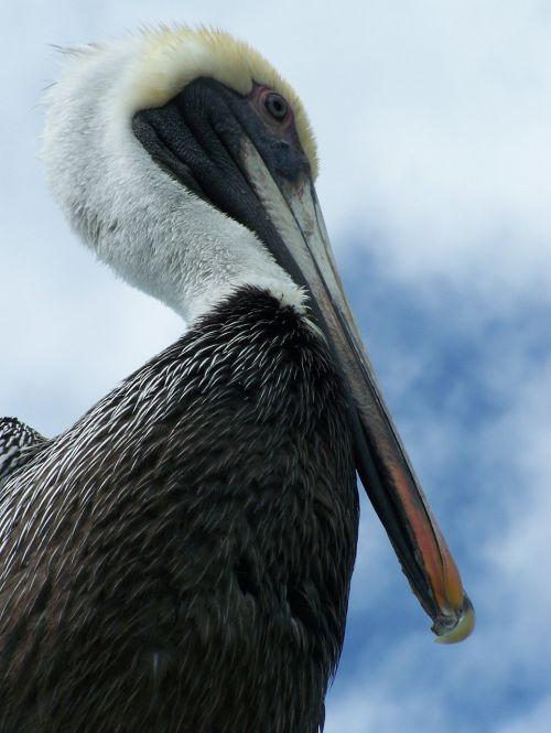 pelican florida bird