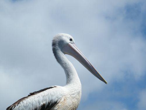 pelican bird nature