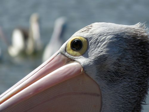 pelican portrait eye