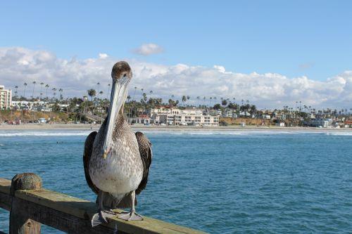 pelican seaside bird