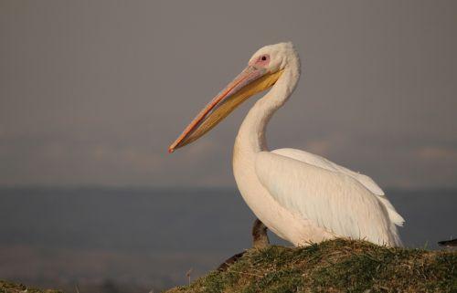 pelican bird pelecanus