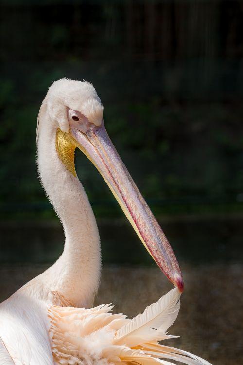 pelican rosy pelican great white pelican