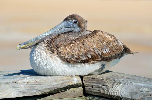 pelican,paukštis,paukštis,poilsio,gamta,vanduo,gyvūnas,laukinė gamta,balta,snapas,plunksnos,didelis,zoologijos,sparnas,florida,vandens paukštis,paukštis,fauna,pelecanus,galva,kranto,skristi,flock