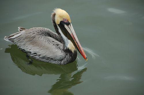 pelican wading bird