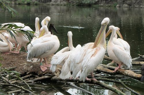 pelican pink pelican pelicans
