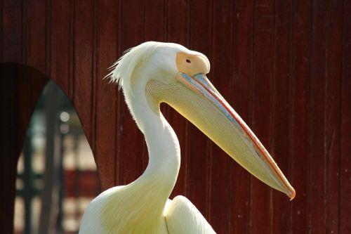 pelican zoo posing
