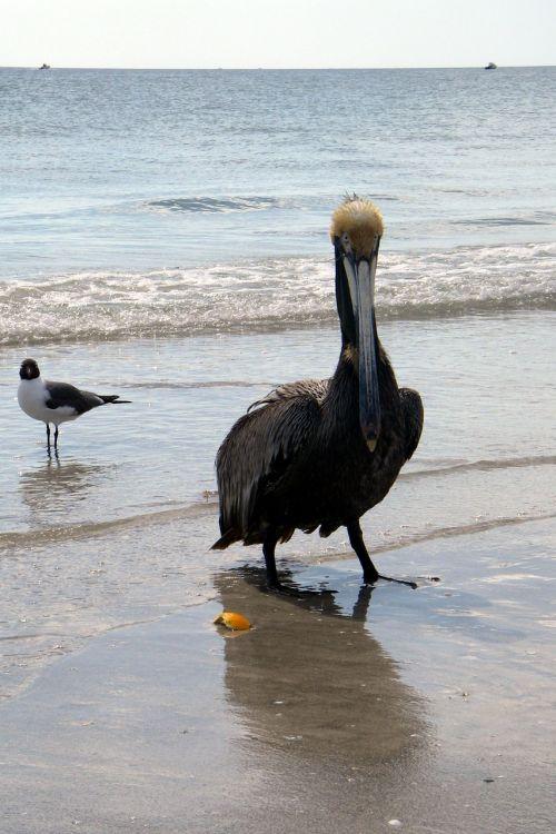 pelican beach brown pelican pelecanidae