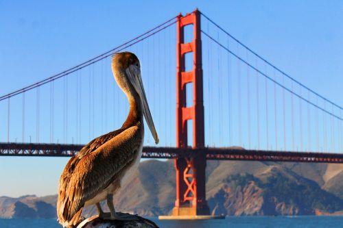 pelican golden gate bridge san francisco