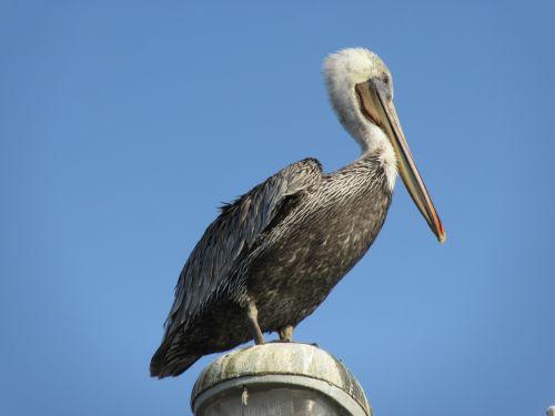 pelican,bird,wildlife,nature