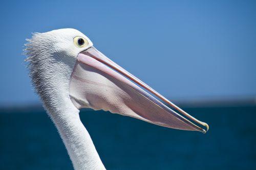 pelican seabird coastal birds