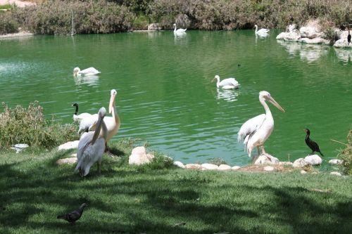 pelican bird animal