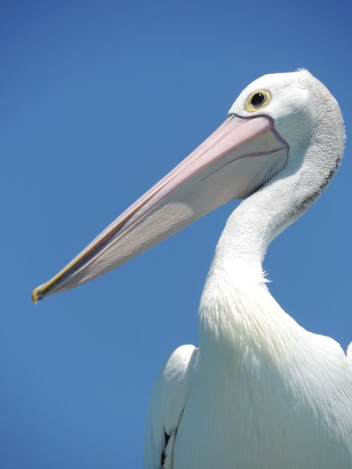 pelican bird beak
