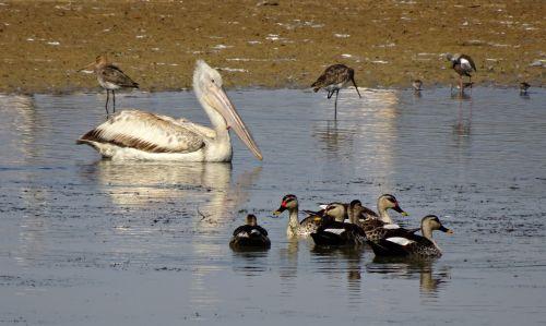 pelican bird duck