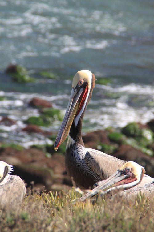 pelican san diego california