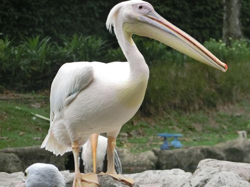 pelican bird singapore-bird-park