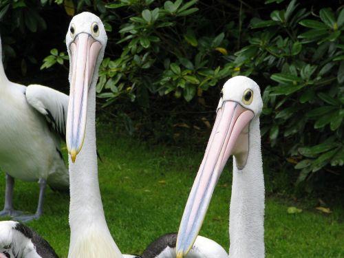 pelican pelikan bird