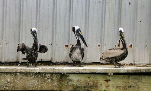 pelican pelicans sitting