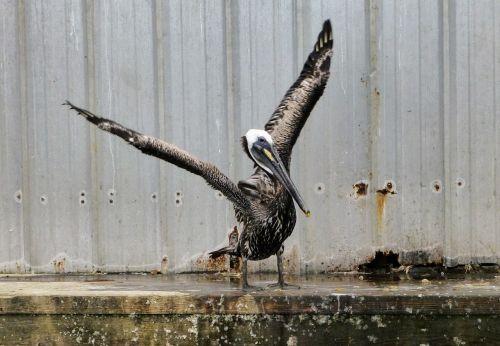 pelican wings bird