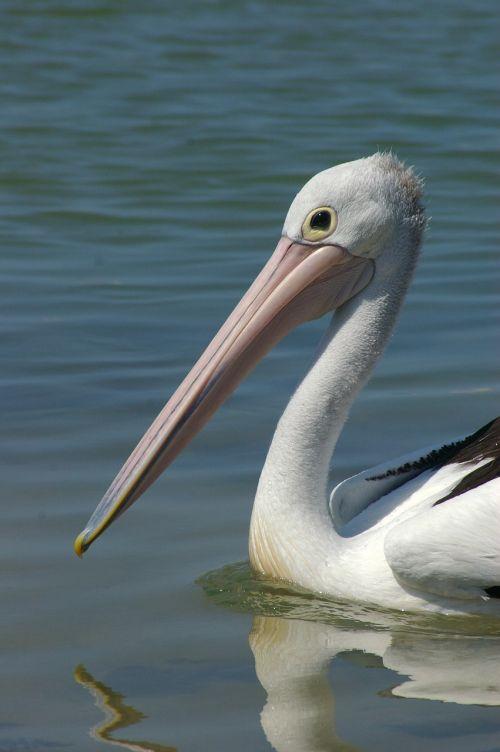 pelican bird wildlife