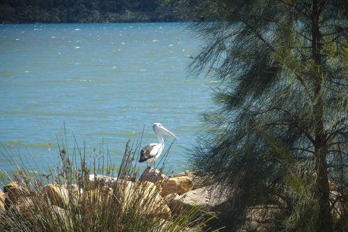 pelican river australia