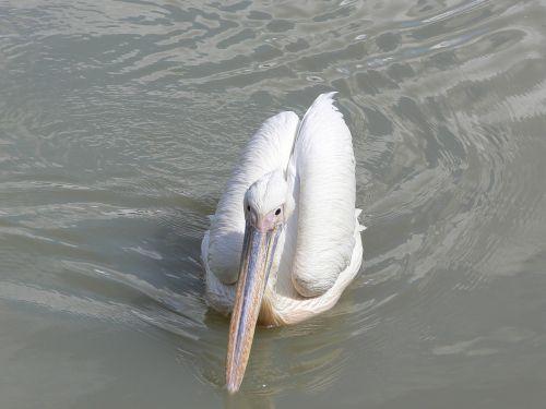 pelican birds bird