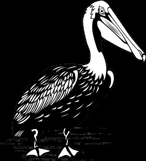 pelican bird large
