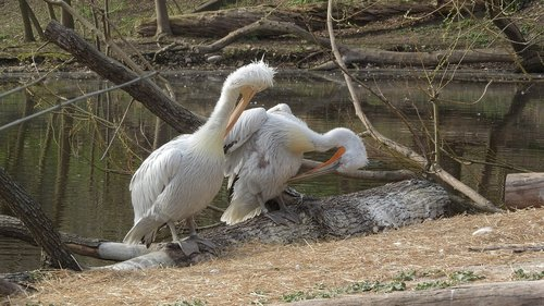 pelican  pelecanus onocrotalus  couple