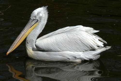 pelican  zoo  bird