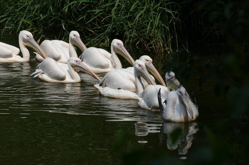 pelican  pelecanus onocrotalus  africa