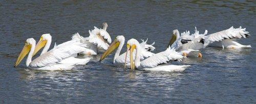 pelican  bird  waterfowl