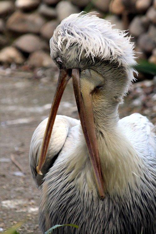 pelican  dalmatian pelican  bird