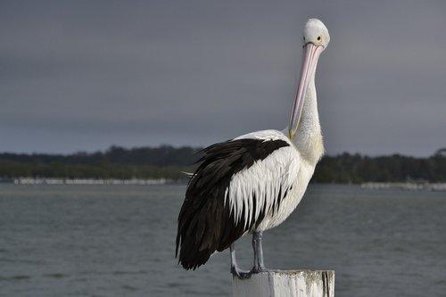 pelican  seabird  wildlife