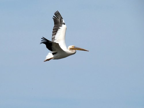 pelican  flight  pelecanus