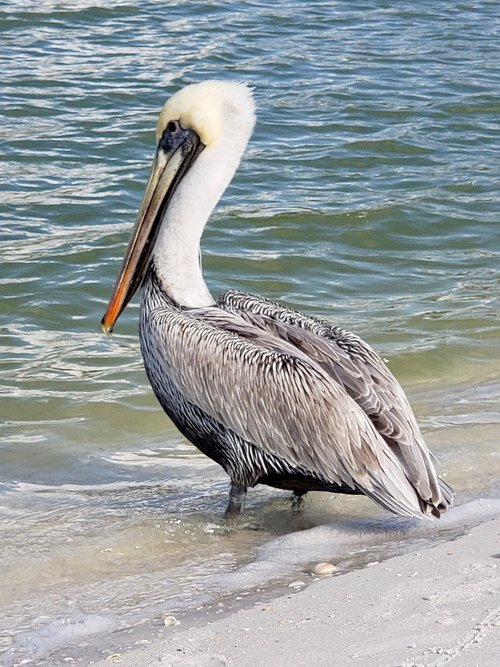 pelican  naples  nature