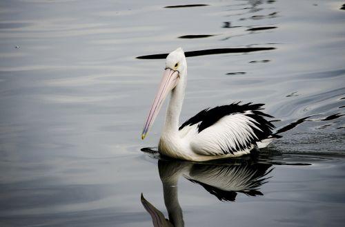 pelican bird swim