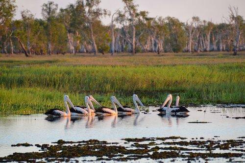 pelican  wetlands  kakadu