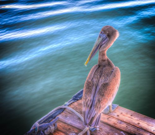 pelican bird brown