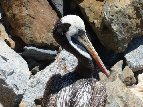 pelican,ave,rašiklis