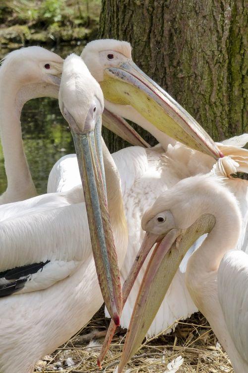 pelican pink water bird
