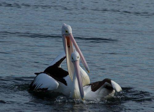 pelican couple happy