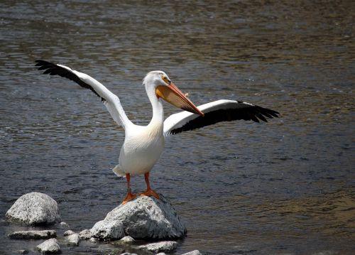 pelican white fox river